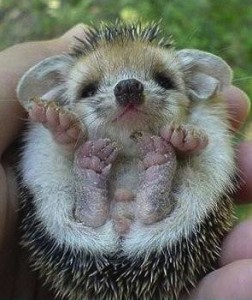 A tiny hedgehog being held with care